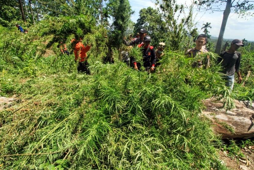 Kapolres Lhokseumawe, AKBP Ari Lasta (kedua kanan) memimpin operasi pemusnahan ladang ganja di Dusun Cot Rawa Thoe, Desa Jurong, Kecamatan Sawang, Aceh Utara, Provinsi Aceh. Kamis (19/7).