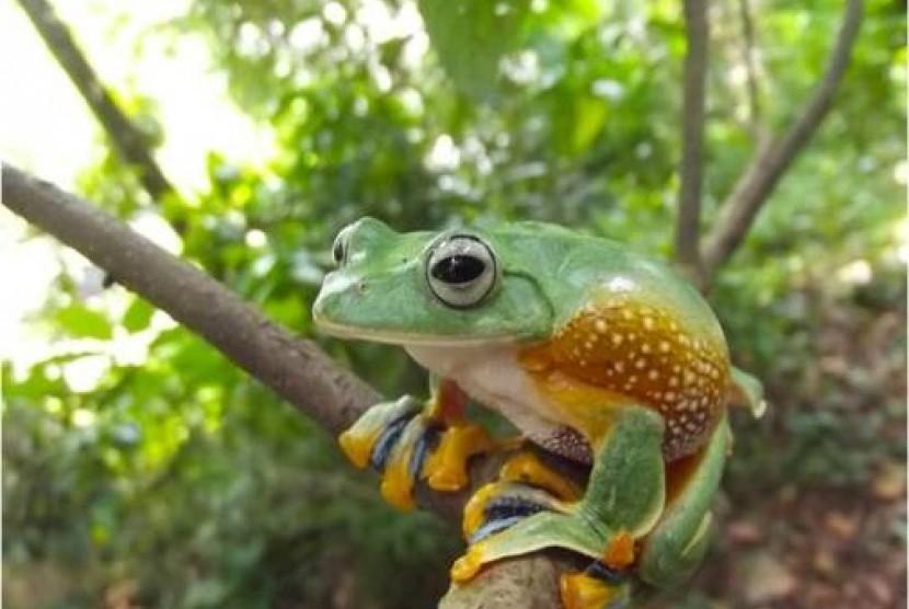 Berkurangnya Habitat Katak Pohon Hijau Di Kampus Ipb Darmaga