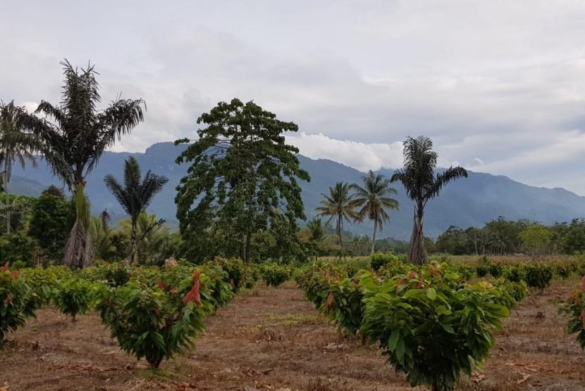 Kebun kakao di Kabupaten Kolaka Utara, Provinsi Sulawesi Tenggara (Sultra).