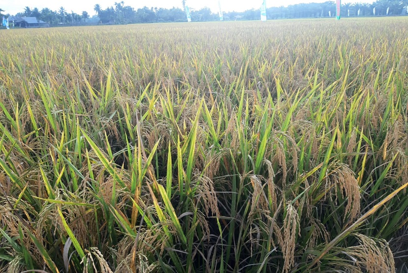 Lahan pertanian siap panen (ilustrasi)