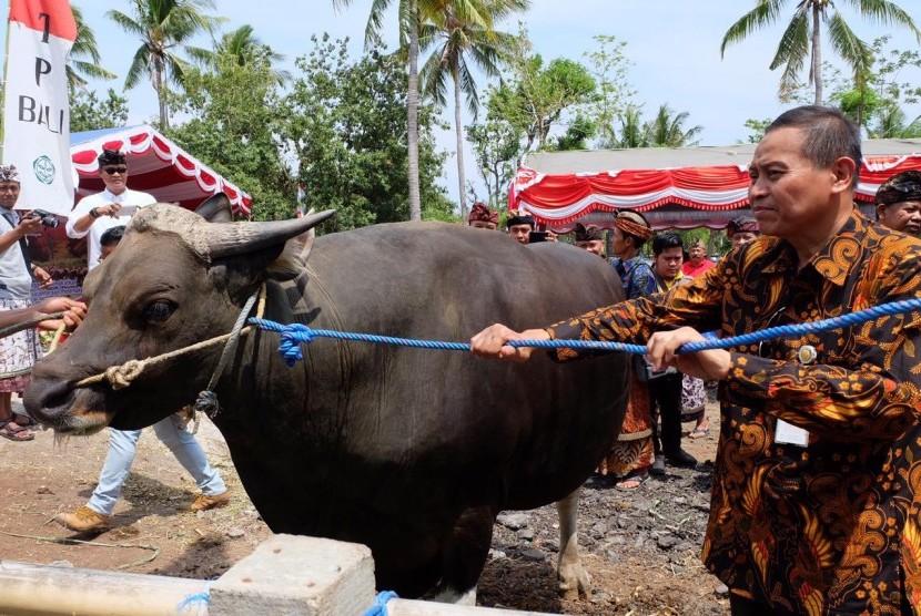 Kementerian Pertanian (Kementan) dan Pemerintah Provinsi Bali mengadakan panen pedet sebagai bagian dari kegiatan Upaya Khusus Percepatan Populasi Sapi dan Kerbau Bunting (Upsus Siwab) di Kabupaten Buleleng, Bali, Kamis (21/12).