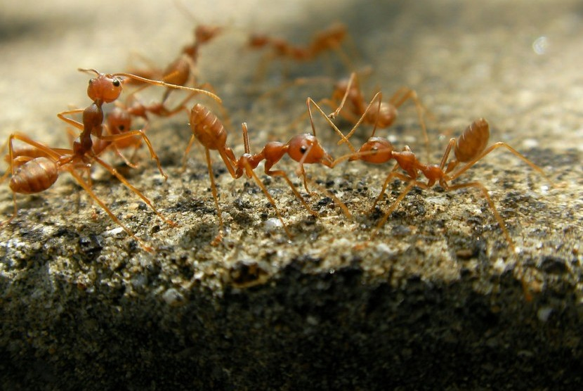 Penjelasan Mengapa Semut Disebutkan Dalam Alquran Republika Online