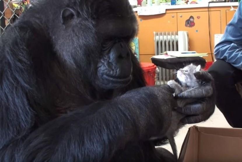 Koko si gorila memilih dua anak kucing untuk diadopsi dengan menandatangani kata 'kucing' dan 'bayi'.