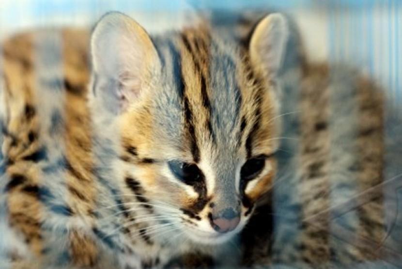 Kucing Hutan Temuan Warga Dikirim Ke Bksda Jatim Republika Online