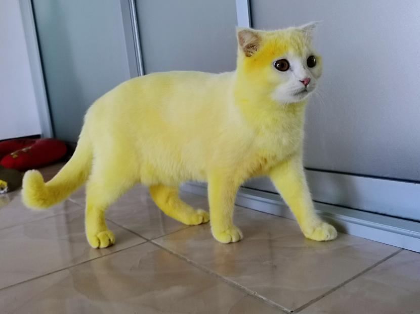 Bulu Kucing Ini Jadi Kuning Usai Diberi Kunyit Oleh Majikan Republika Online