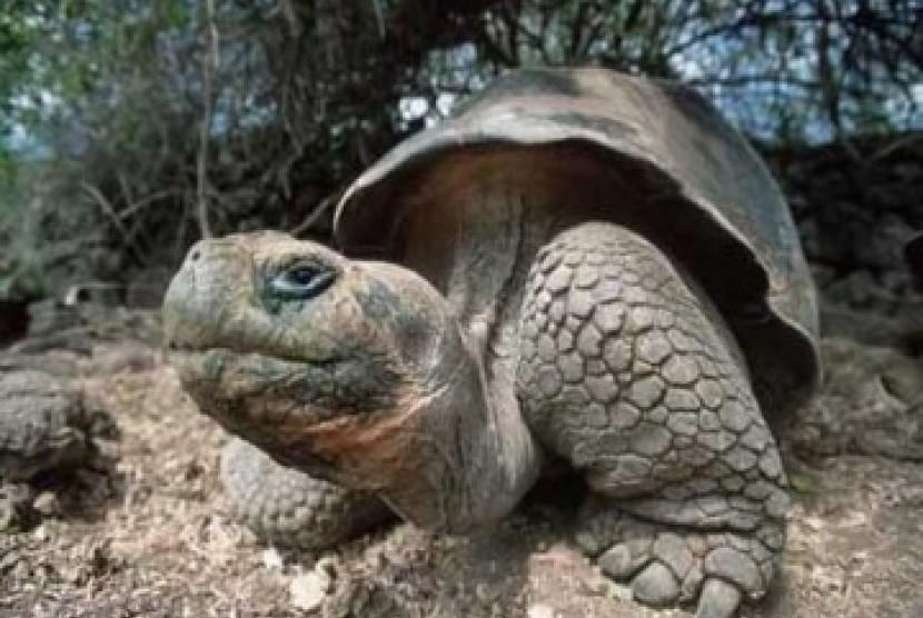 Kura-kura Galapagos yang terkenal. Ukurannya lebih besar dari kura-kura pada umumnya.