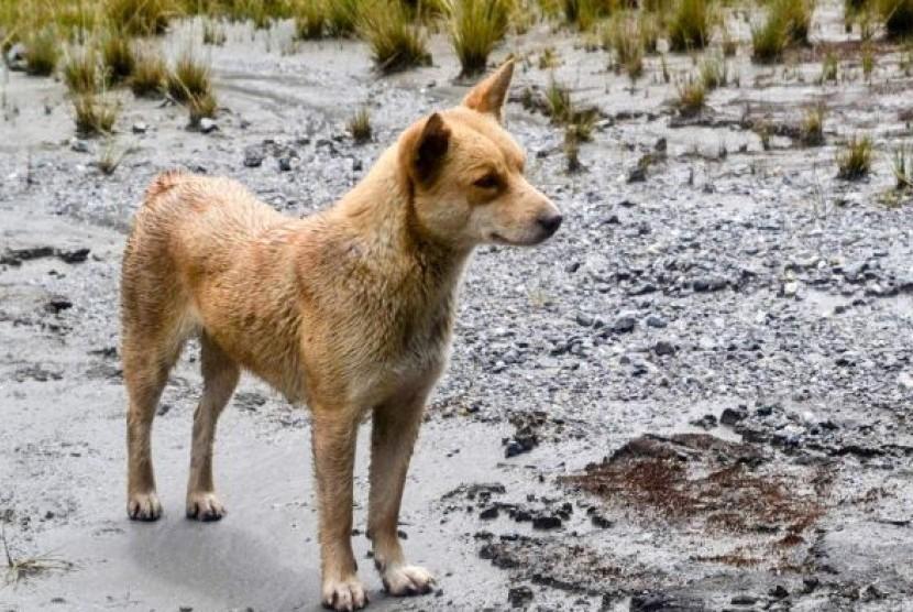 Ditemukan, Anjing Purba Langka Kerabat Dingo Australia di Papua ...