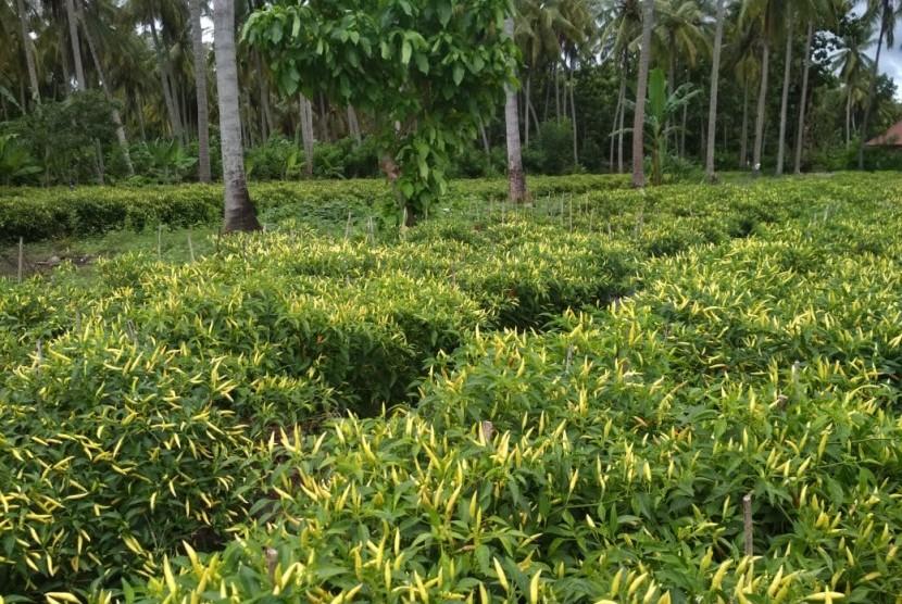 Lahan cabai rawit di wilayah Lombok, Nusa Tenggara Barat (NTB)