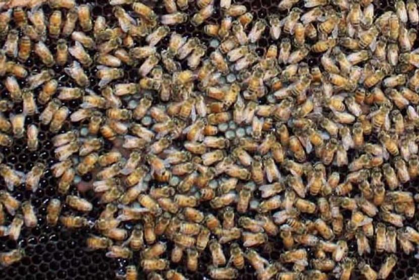 Lebah madu (Ilustrasi)