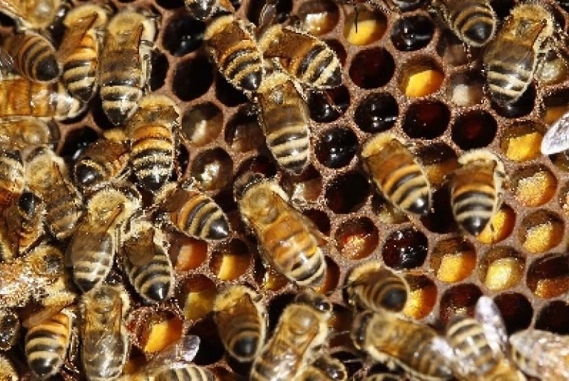 Lebah penghasil madu.