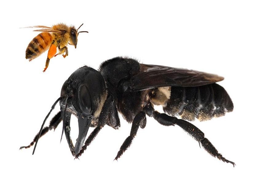Lebah raksasa Wallace, lebah terbesar di dunia yang sempat disebut punah. Kini lebah tersebut ditemukan di salah satu pulau di Indonesia