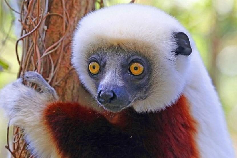 Lemur (Ilustrasi)