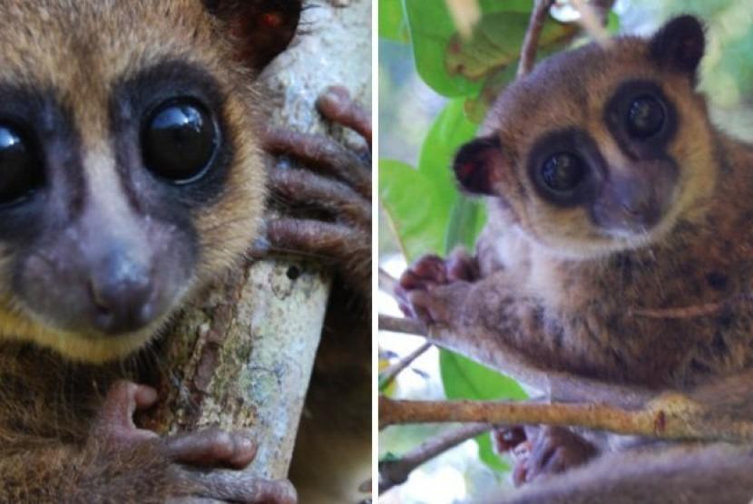 Lemur kecil di Madagaskar.