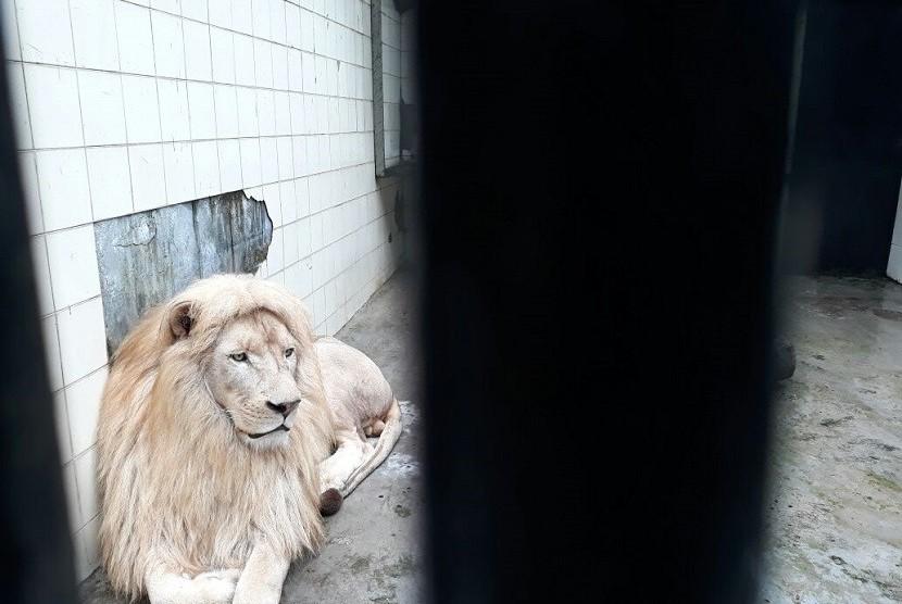 Lingk, satu dari lima ekor singa putih dari Kanada yang didatangkan di Taman Safari Indonesia, Cisarua, Bogor, pada tiga pekan lalu. Saat ini, mereka masih dalam masa karantina dan akan diperlihatkan ke hadapan publik pada Jumat (16/2).