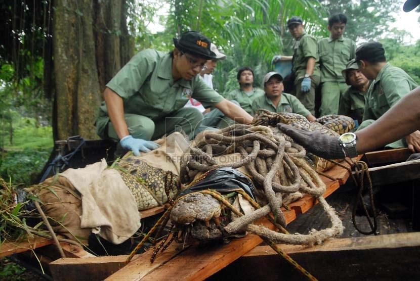 Petugas satwa merelokasi buaya muara (Crocodylus Porosus) dari kandang sementara mereka ke kandang pertunjukan yang telah selesai direnovasi di Taman Margasatwa Ragunan, Jakarta Selatan, Senin (10/2).   (Republika/Rakhmawaty La'lang)