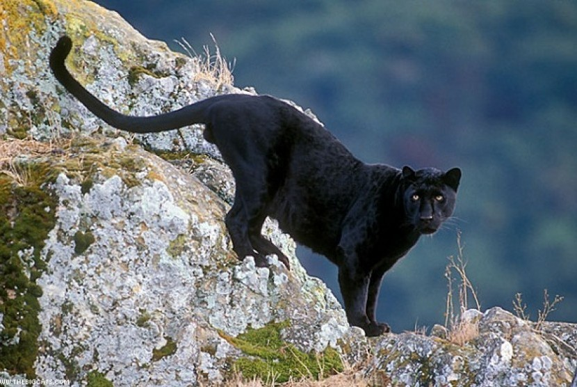 43 Gambar Binatang Macan Tutul HD