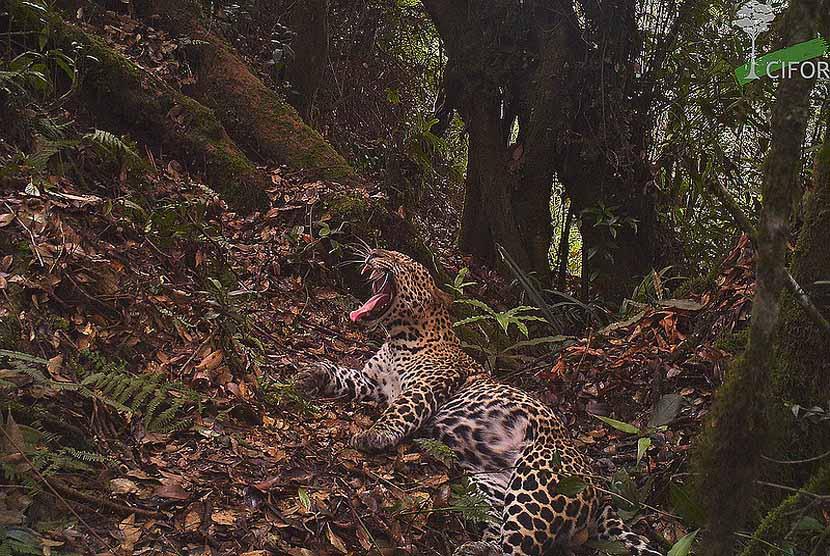 Macan tutul Jawa (Panthera pardus melas) yang terancam punah, berada di Taman Nasional Gunung Halimun Salak, Jawa Barat.