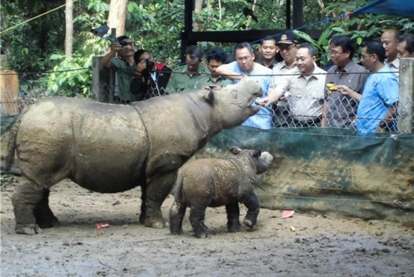 Menteri Kehutanan, Zulkifli Hasan, memberi makanan buah-buahan kepada Ratu, ibu Andatu, badak Sumatera yang baru melahirkan pada 23 Juni 2012 di tempat penangkaran badak Sumatera, Taman Nasional Way Kambas, Lampung Timur, Provinsi Lampung, Senin (30/7).
