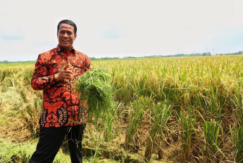 Menteri Pertanian Amran Sulaiman sedang memanen padi