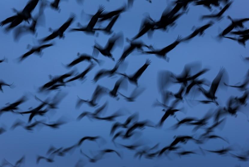 Peneliti di AS menemukan ukuran burung yang bermigrasi semakin mengecil sebagai respons perubahan iklim. Migrasi burung (ilustrasi).