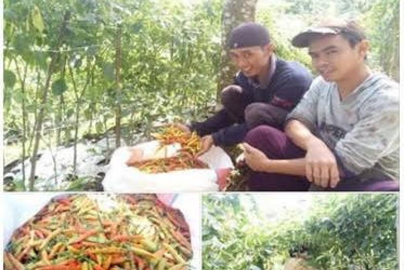Mistoyo (kanan), petani cabai yang bergabung dengan KSM Lamor Kelud Sejahtera.