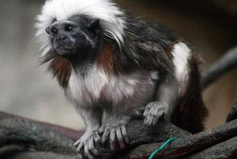 monyet cotton top tamarin  140827000514 544 - Mengintip Eksotisme Fauna di Alam Liar Brazil