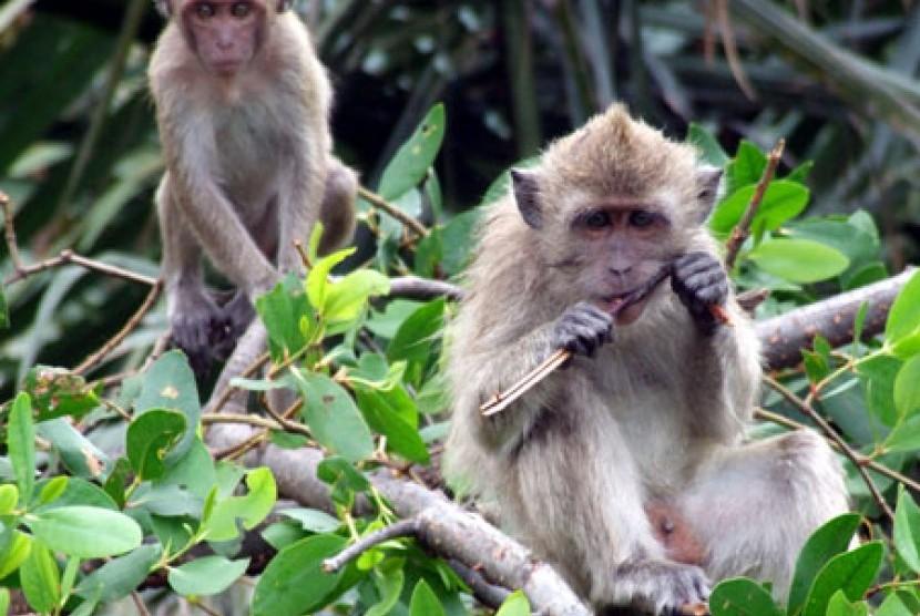 430+ Gambar Hewan Monyet Ekor Panjang Terbaru