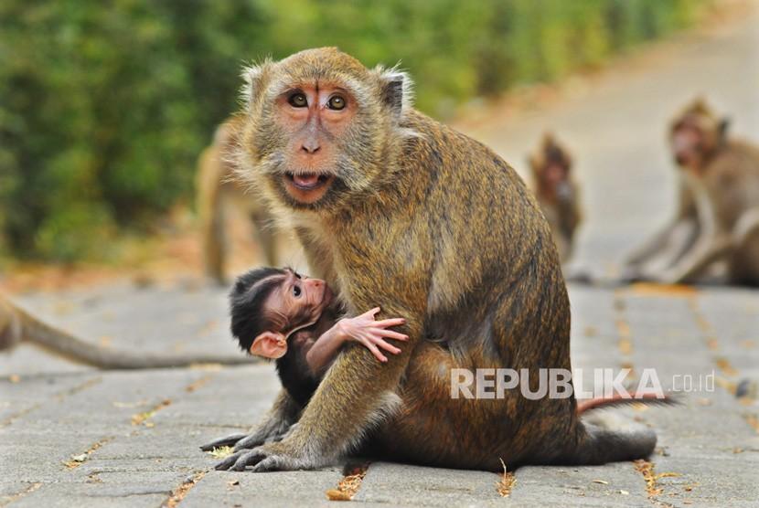 Primata monyet bisa menularkan penyakit cacar monyet atau monkeypox ke manusia.