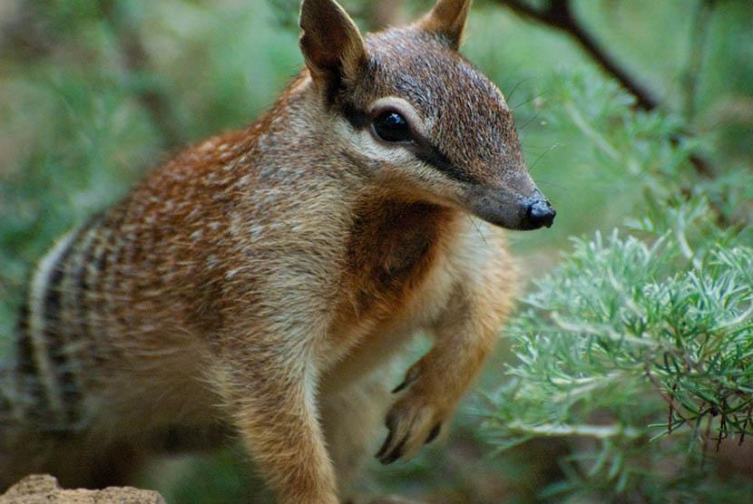 Numbat adalah binatang yang dilindungi di Australia.    (Photo: cc Wikipedia, Helenbella)