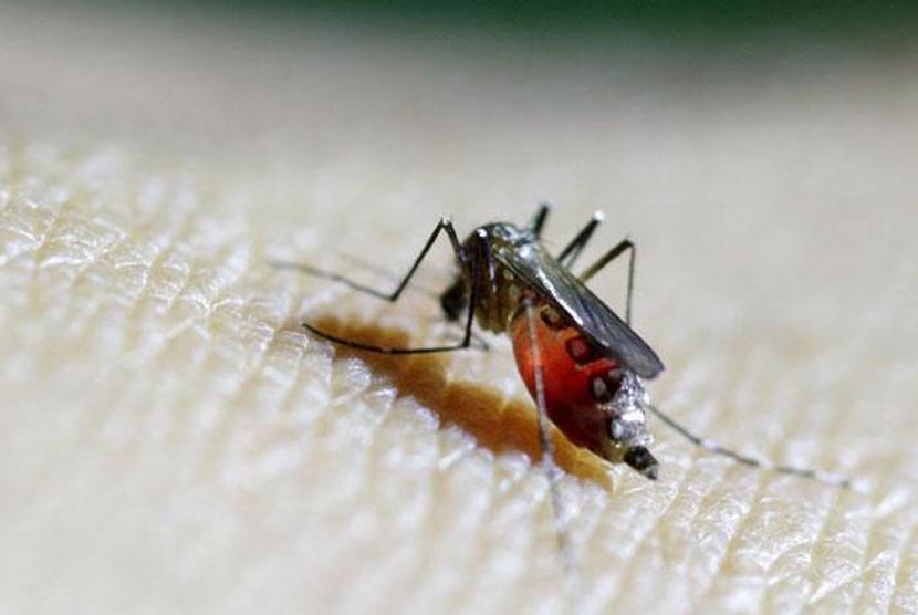 Nyamuk menghisap darah. Ilustrasi