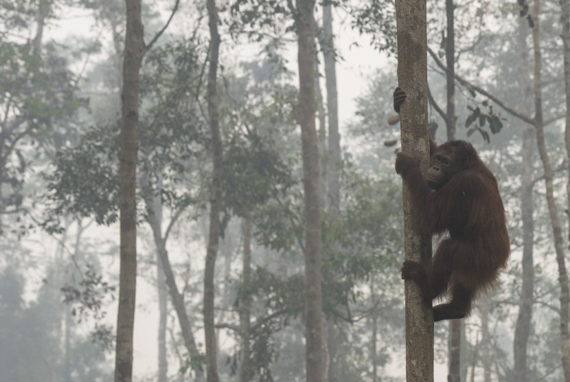 Orang utan beraktivitas di tengah kabut asap yang menyelimuti areal hutan sekolah Orang utan Yayasan Penyelamatan Orang utan Borneo (BOSF) di Arboretum Nyaru Menteng, Kalimantan Tengah.