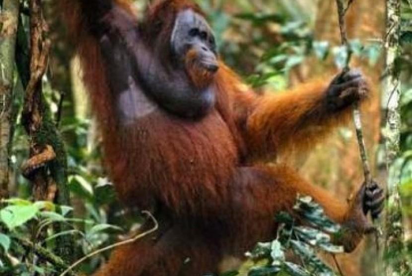 Seekor Orang Utan Dievakuasi dari Perkebunan Warga   Republika Online