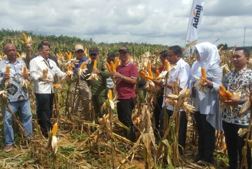 Panen jagung di di Desa Tajau Pecah,Kabupaten Tanah Laut Provinsi Kalimantan Selatan (Kalsel)