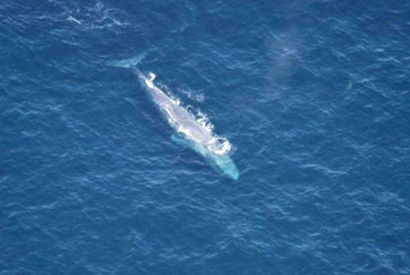 Para peneliti menggunakan teknologi solar terbaru untuk menemukan sekelompok besar paus biru di Antartika