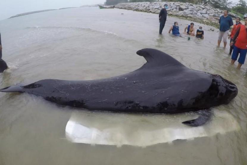Paus yang mati terdampar dan diketahui telah memakan banyak sampah plastik di laut.