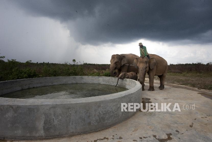 Pawang gajah memberi minum gajahnya usai di lepas liarkan di Taman Nasional Way Kambas, Lampung.