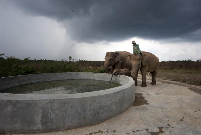 Pawang gajah memberi minum gajahnya usai di lepas liarkan di Taman Nasional Way Kambas, Lampung, Rabu (2/12). Taman Nasional Way Kambas merupakan tempat wisata yang menarik karena menawarkan kegiatan wisata khusus.