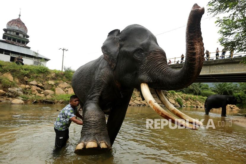 Pawang (mahout) melatih dan merawat gajah sumatra (elephant sumatranus) jinak. Ilustrasi