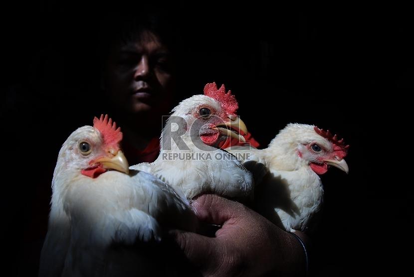 Pedagang ayam menunjukan ayam dagangannya di Pasar Senen, Jakarta Pusat, Rabu (21/1).  ( Republika/Raisan Al Farisi)