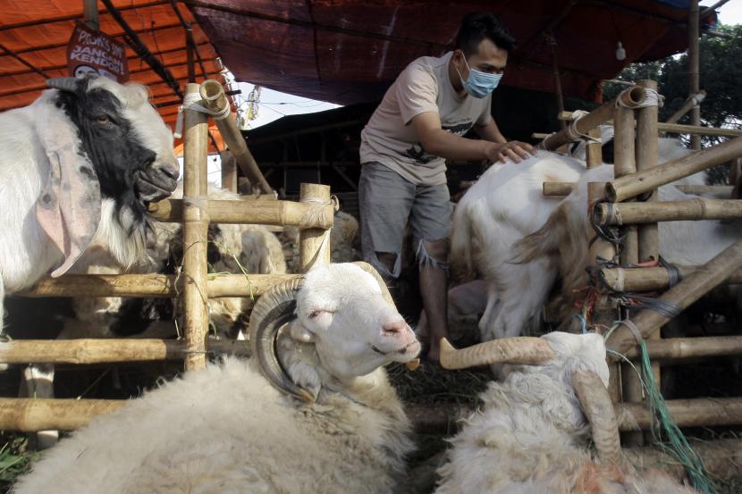 Pedagang memeriksa kondisi domba yang dijual untuk hewan kurban.