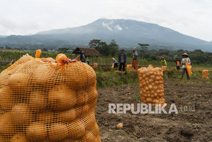 Pekerja memanen kentang (ilustrasi).