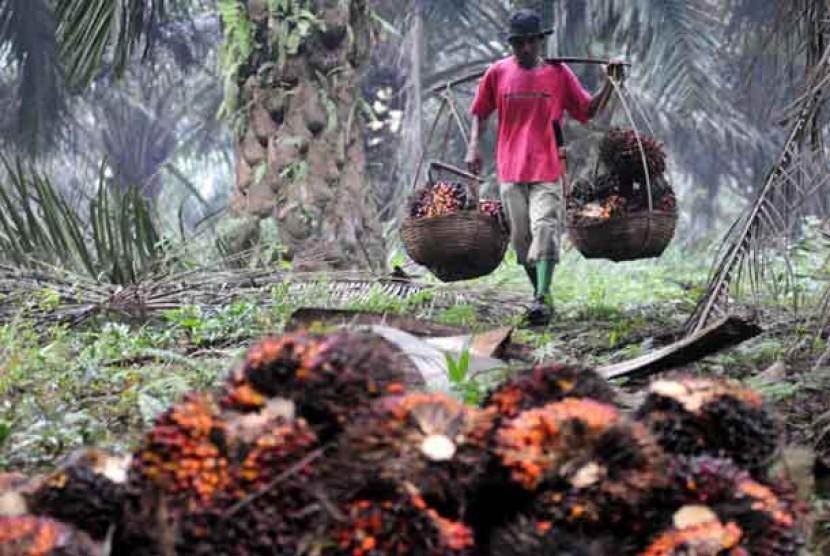 Asosiasi menilai moratorium sawit masih relevan di tengah surplus sawit. Pekerja memanen tandan buah segar kelapa sawit.  (ilustrasi)