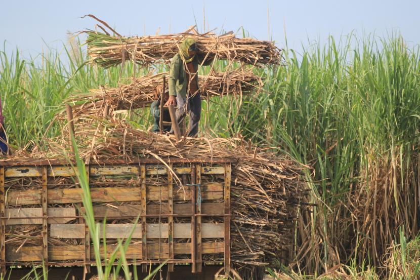 Pekerja memanen tebu di desa Kerticala, Tukdana, Indramayu, Jawa Barat, Jumat (11/6/2021). Staf Khusus Menteri BUMN Arya Sinulingga mengungkapkan alasan di balik pendirian holding BUMN pabrik gula bernama SugarCo.