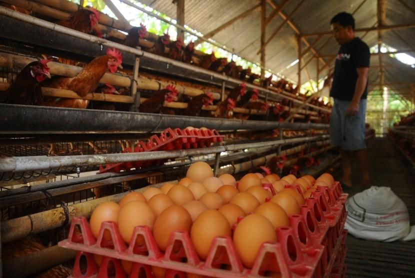 Pekerja memberi pakan ayam petelur ras di Karangnongko, Mojosongo, Boyolali, Jawa Tengah, Selasa (10/7).