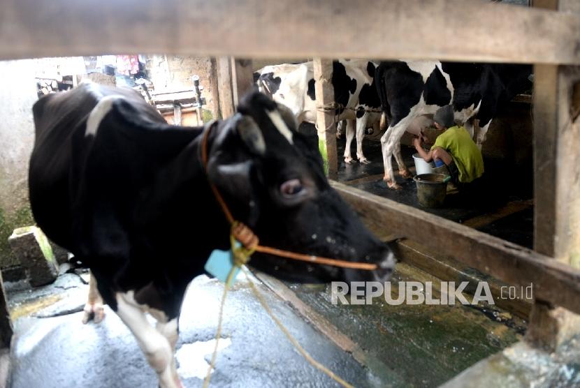 Pekerja memerah susu di peternakan sapi perah, Duren Tiga, Jakarta, Selasa (31/1).