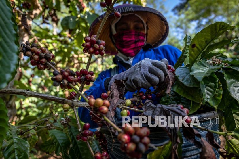 Pekerja memetik biji kopi robusta saat panen raya di Perkebunan Kopi Getas, Afdeling Assinan, PT Perkebunan Nusantara (PTPN) IX, Kabupaten Semarang, Jawa Tengah, Kamis (29/7/2021). PTPN, menurut Kementerian BUMN, merupakan salah satu perusahaan milik negara yang berhasil bertransformasi.