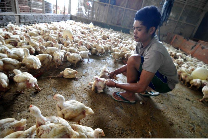 Pekerja memilih ayam potong siap jual di Jakarta, Selasa (22/4).