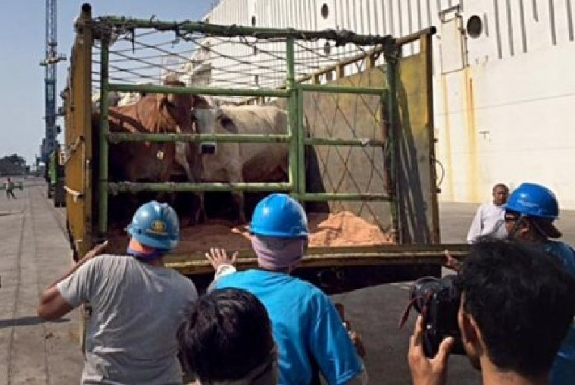 Pekerja pelabuhan membongkar muat sapi Australia yang tiba di Jakarta.