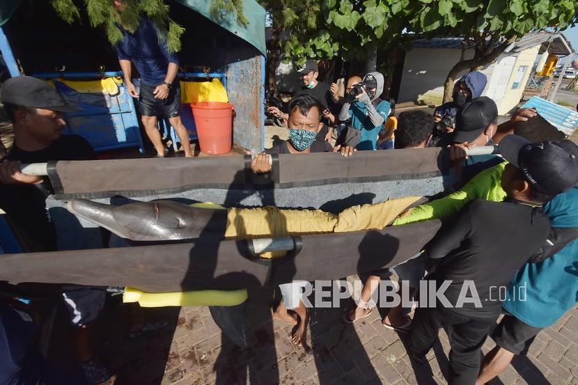 KLHK: Peragaan Lumba-Lumba Keliling tidak Boleh Lagi. Pemerhati satwa dilindungi menggotong lumba-lumba hidung botol (Tursiops truncatus) saat proses evakuasi menuju tempat konservasi di Pantai Mertasari, Sanur, Denpasar, Bali, Selasa (27/4/2021). Balai Konservasi Sumber Daya Alam (BKSDA) Bali mengevakuasi tujuh ekor lumba-lumba hidung botol yang dimanfaatkan untuk pertunjukan atraksi di keramba besar milik salah satu perusahaan di kawasan Pantai Mertasari setelah sempat viral karena aksi artis Lucinta Luna menunggangi lumba-lumba saat berlibur di tempat itu.