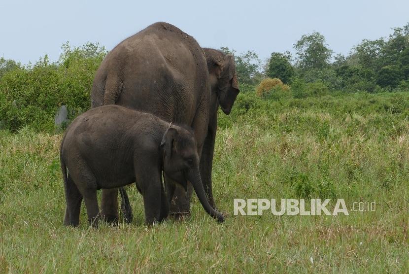 Penangkaran Gajah, Taman Nasional Way Kambas (TNWK), Lampung, (20/3).